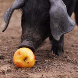 piglet-apple-square